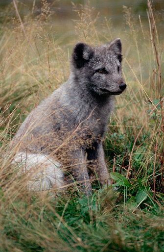 Arctic Fox「Arctic Fox」:スマホ壁紙(5)