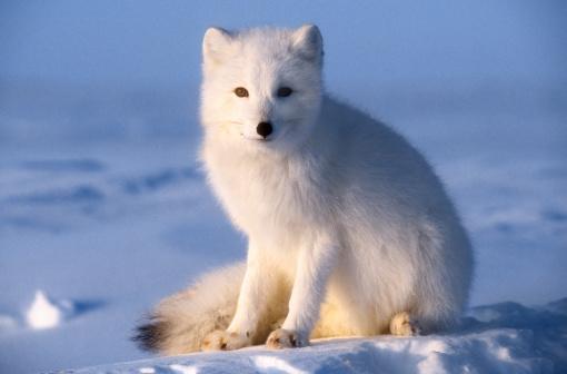 Arctic Fox「Arctic fox」:スマホ壁紙(9)