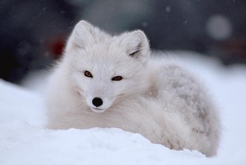 Arctic Fox「Arctic Fox Curled Up in Winter Snow」:スマホ壁紙(18)
