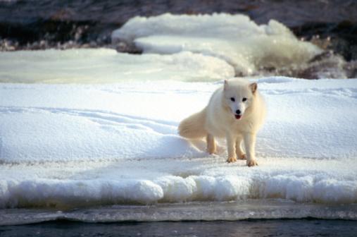 Arctic Fox「Arctic fox」:スマホ壁紙(7)