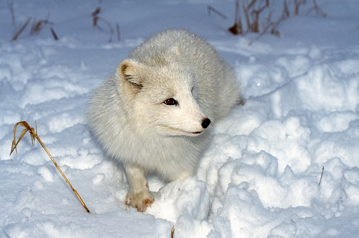 Choosing「Arctic Fox in Snow」:スマホ壁紙(8)