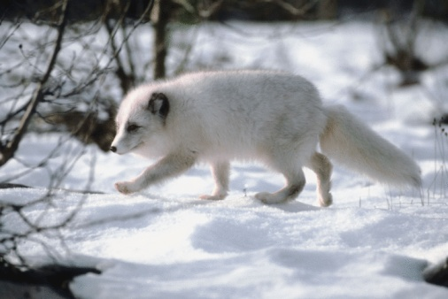 Arctic Fox「Arctic fox in snow」:スマホ壁紙(18)
