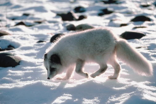 Arctic Fox「Arctic fox in snow」:スマホ壁紙(5)