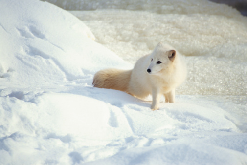 Arctic Fox「Arctic fox in snow」:スマホ壁紙(10)