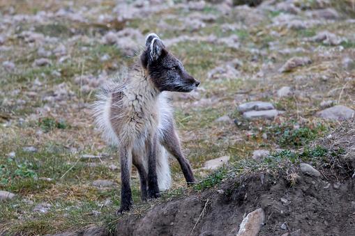 Arctic Fox「Arctic fox (Alopex lagopus) looking around, Longyearbyen, Svalbard, Norway」:スマホ壁紙(9)
