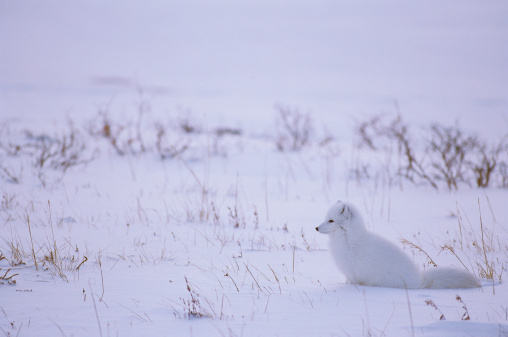 Arctic Fox「Arctic fox sits alone in the winter snow. Alopex lagopus. Hudson Bay, Canada.」:スマホ壁紙(17)