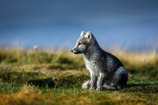 Arctic Fox「Arctic Fox, Iceland」:スマホ壁紙(16)