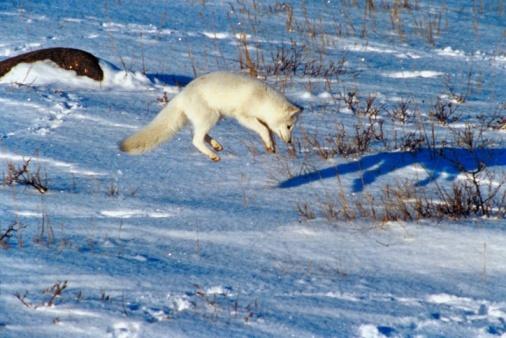 Animals Hunting「Arctic fox jumping in midair」:スマホ壁紙(14)