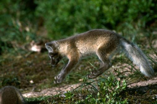 Arctic Fox「Arctic fox cub near den site. Hudson Bay, Canada」:スマホ壁紙(8)