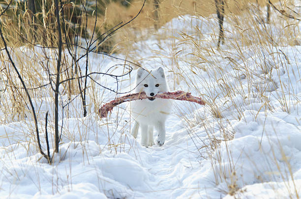 Arctic Fox (Alopex Lagopus) In White Winter Phase:スマホ壁紙(壁紙.com)