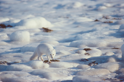 Arctic Fox「Arctic fox walks on the sea ice. Alopex lagopus. Hudson Bay, Canada.」:スマホ壁紙(16)