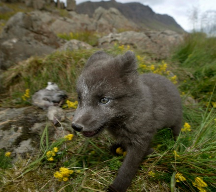 Arctic Fox「Arctic fox in meadow in Iceland」:スマホ壁紙(12)