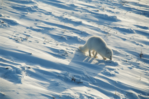Arctic Fox「Arctic fox (Alopex lagopus) on snow, elevated view」:スマホ壁紙(7)