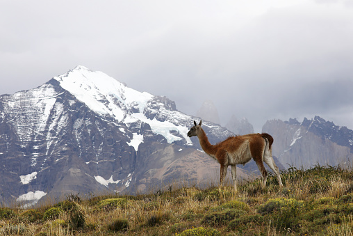 Guanaco「Wild Guanaco on Mountain Ridge in Patagonia」:スマホ壁紙(5)