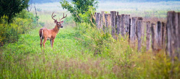 Cades Cove「Buck Deer in Cades Cove area of the Smoky Mountains」:スマホ壁紙(12)