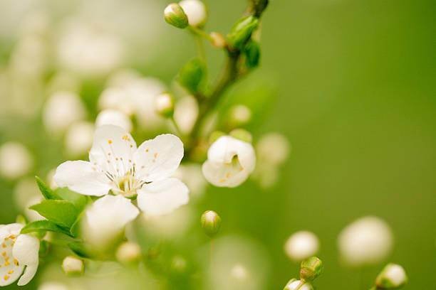Apple blossom:スマホ壁紙(壁紙.com)