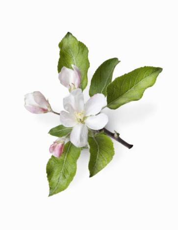 Apple Blossom「Apple Blossom」:スマホ壁紙(2)