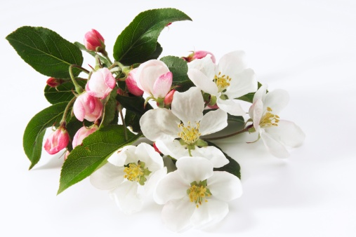 Stamen「Apple blossom (Malus), close-up」:スマホ壁紙(17)