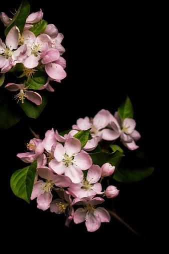 Flower Head「Apple blossom isolated on black background」:スマホ壁紙(3)