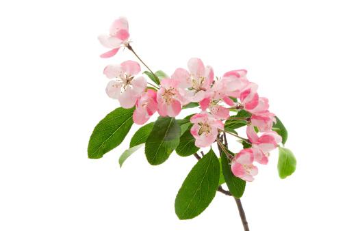 Deciduous tree「Apple blossom」:スマホ壁紙(4)