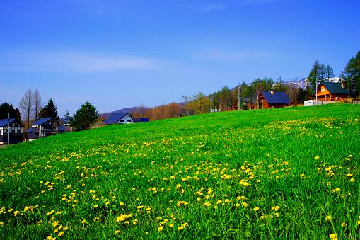 たんぽぽ「Dandelions on a field」:スマホ壁紙(7)