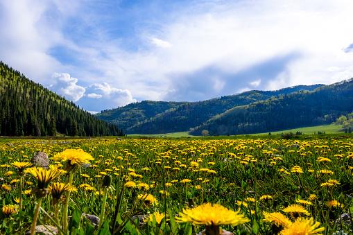 たんぽぽ「Dandelions in Hermosa Creek Valley during day, USA」:スマホ壁紙(3)