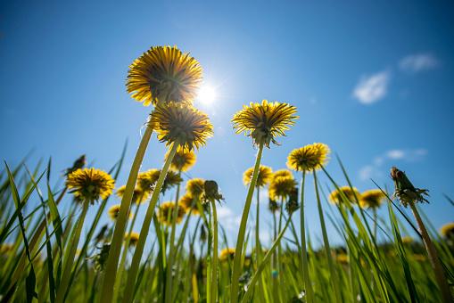 Wildflower「Dandelions streching fowards the sun」:スマホ壁紙(14)