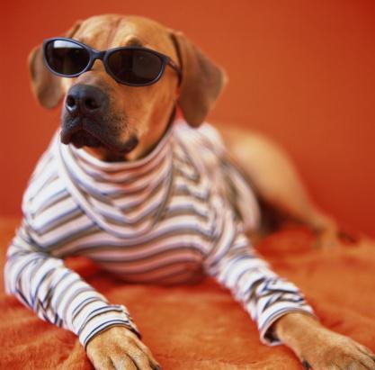 Sweater「Rhodesian ridgeback in sunglasses and stripped shirt, lying on rug」:スマホ壁紙(2)
