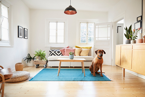 Home Interior「Rhodesian ridgeback sitting in bright modern livingroom」:スマホ壁紙(16)