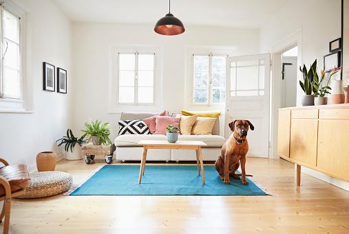 Comfortable「Rhodesian ridgeback sitting in bright modern livingroom」:スマホ壁紙(14)