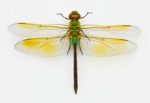 とんぼ「Green darner (Anax junius) on white background, overhead view」:スマホ壁紙(3)