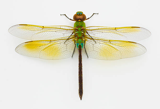 Green darner (Anax junius) on white background, overhead view:スマホ壁紙(壁紙.com)