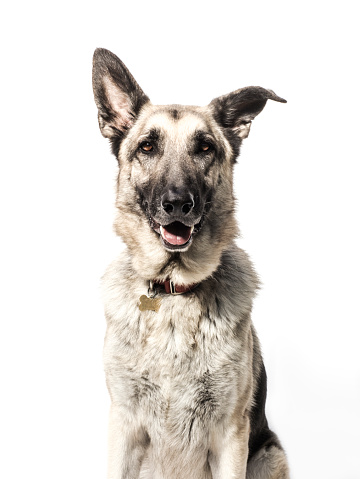Looking At Camera「Front-view Portrait of a German Shepherd - The Amanda Collection」:スマホ壁紙(17)