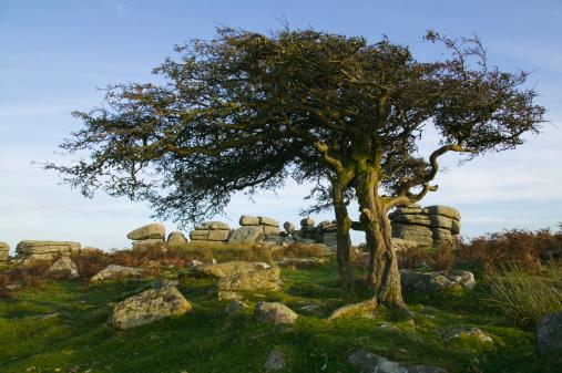 Hawthorn「A hawthorn tree at Combestone Tor, nr Dartmeet, Dartmoor National Park, Devon, Great Britain.」:スマホ壁紙(17)