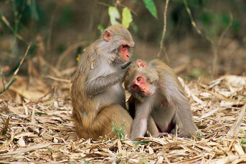 Grooming - Animal Behavior「Rhesus macaque (Macaca mulatta) grooming another rhesus macaque」:スマホ壁紙(18)