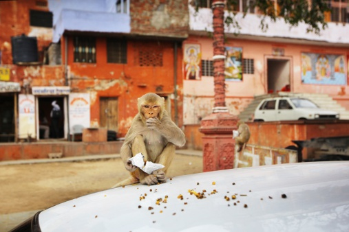 Tame「Rhesus Macaque eats on car bonnet in Jaipur」:スマホ壁紙(12)