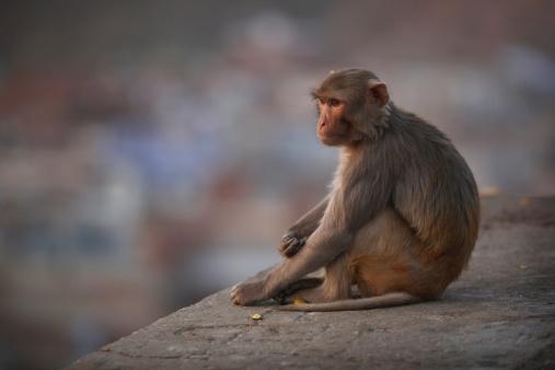 Rajasthan「Rhesus Macaque Monkey in Jaipur」:スマホ壁紙(7)