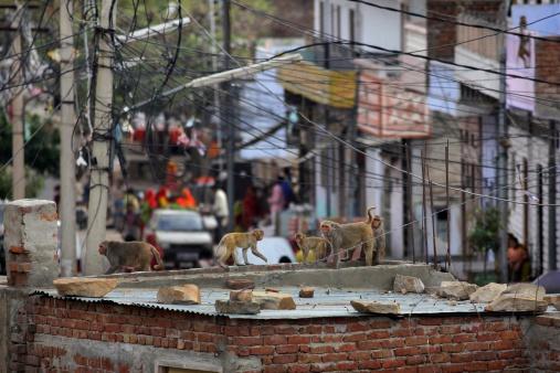 Rajasthan「Rhesus Macaques walk over Jaipur rooftop」:スマホ壁紙(6)