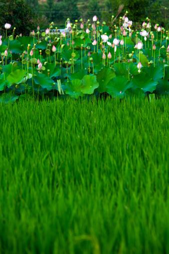 名画「Lotus,close-up」:スマホ壁紙(17)