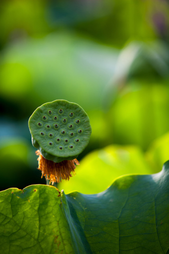 名画「Lotus,close-up」:スマホ壁紙(16)