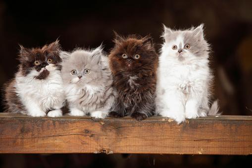 Kitten「Four British Longhair kittens sitting on wooden beam」:スマホ壁紙(0)