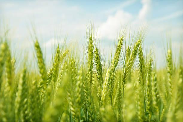 Green wheat field swaying in the breeze under a blue sky:スマホ壁紙(壁紙.com)