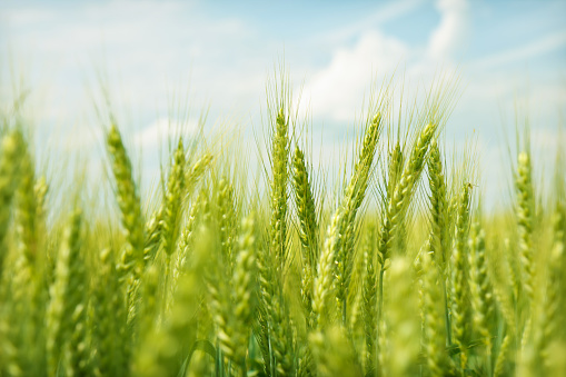 Agriculture「Green wheat field swaying in the breeze under a blue sky」:スマホ壁紙(14)