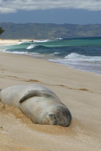 オアフ島「Endangered Hawaiian Monk Seal spends two days sleeping on the beach near Banzai Pipeline.」:写真・画像(8)[壁紙.com]