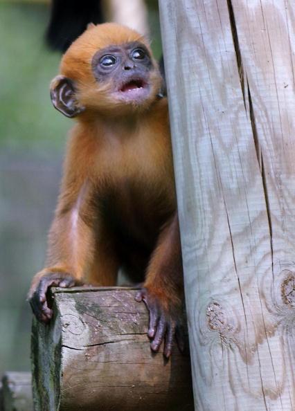 Steve Finn「Rare Francois' Langur Monkey Is Born At London Zoo」:写真・画像(13)[壁紙.com]
