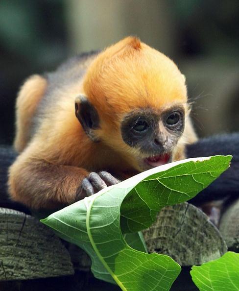 Steve Finn「Rare Francois' Langur Monkey Is Born At London Zoo」:写真・画像(15)[壁紙.com]