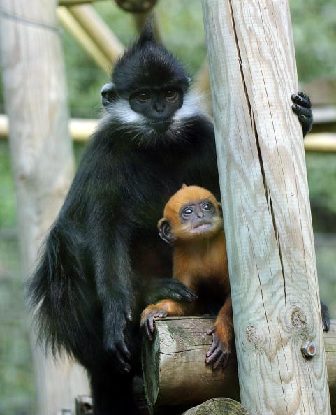 Endangered Species「Rare Francois' Langur Monkey Is Born At London Zoo」:写真・画像(13)[壁紙.com]