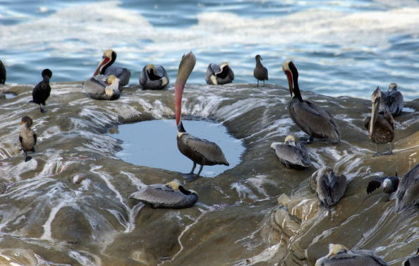 Endangered Species「Endangered Brown Pelicans Face Mutilations」:写真・画像(5)[壁紙.com]