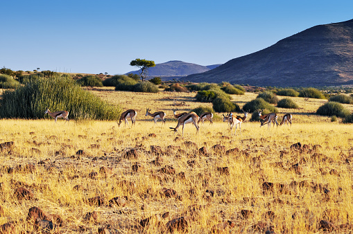 Wildlife Conservation「Herd of springbok in Damaraland ,Namibia」:スマホ壁紙(15)