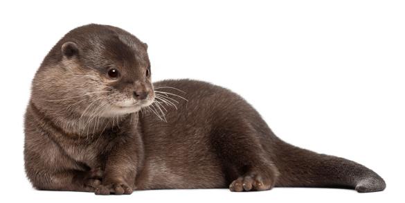 Sea Lion「Oriental small-clawed otter - Amblonyx Cinereus」:スマホ壁紙(19)